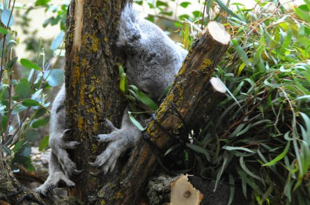 A koala bear is sleeping at the Schönbrunner Animal Park - Vienna Zoo.