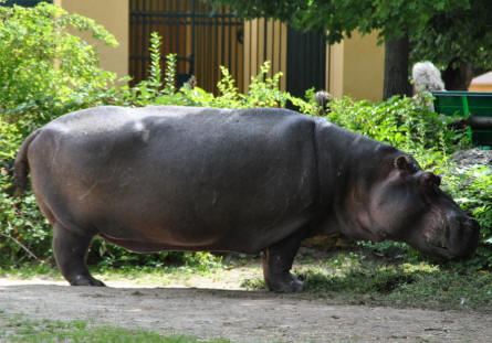 One of the huge hippos at the Schönbrunner Animal Park - Vienna Zoo.