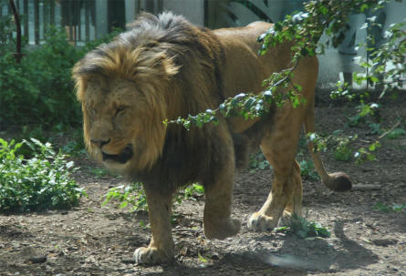 A male lion at the Schönbrunner Animal Park - Vienna Zoo.
