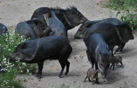 A group of wild pigs at the Schönbrunner Animal Park - Vienna Zoo.
