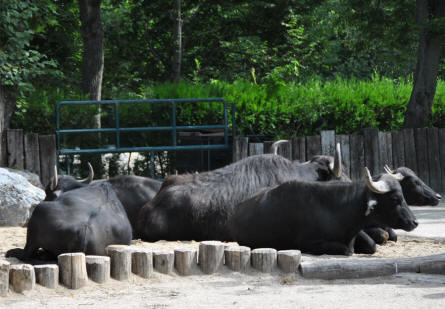 Some of the many ox's at the Schönbrunner Animal Park - Vienna Zoo.