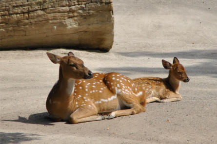 One of the many types of deer at the Schönbrunner Animal Park - Vienna Zoo.