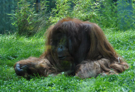 One of the large orangutans at the Schönbrunner Animal Park - Vienna Zoo.