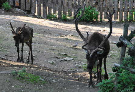 Two of the reindeers at Prague Zoo.