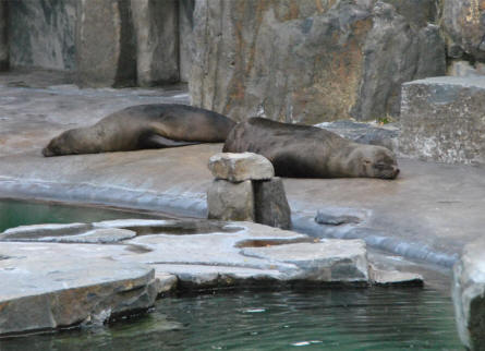 Seals are relaxing at Prague Zoo.