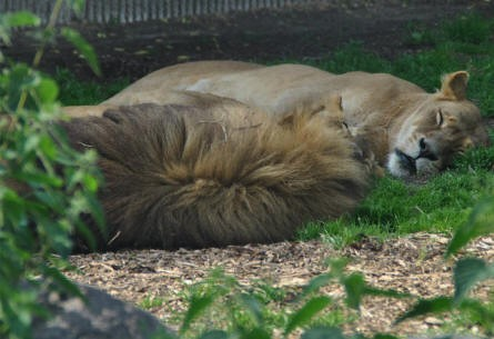 The lions are relaxing at the Copenhagen Zoo.