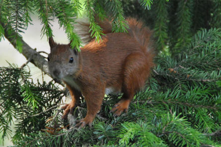A local red squirrel living at the Copenhagen Zoo.