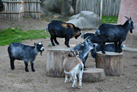 Some of the small goats at Odense Zoo.