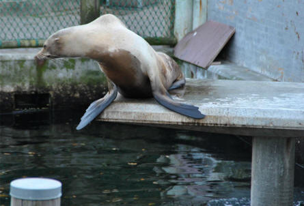 A sea lion at Odense Zoo.