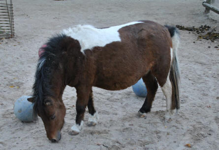 A small pony at Odense Zoo.