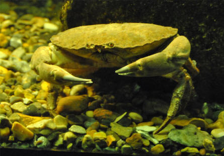 A crab displayed at the Jutland Aquarium in Thyborøn.