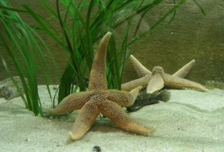 Two starfish at Esbjerg Maritime Museum & Aquarium.