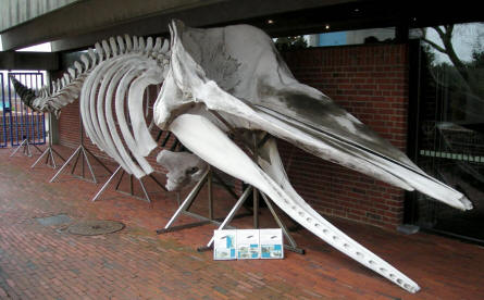 The skeleton of a large whale marks the entrance to Esbjerg Maritime Museum & Aquarium.