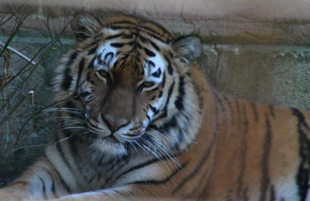 One of the Siberian tigers at the Guldborgsund Zoo.