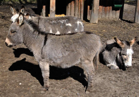 Some of the donkeys at the Guldborgsund Zoo.