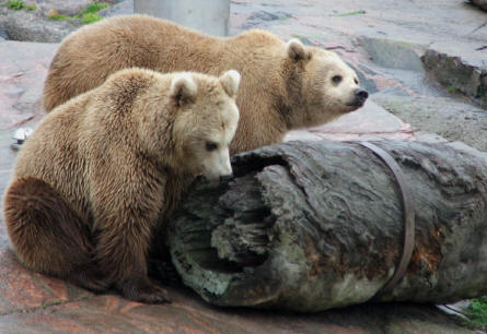 Two European Brown Bears at the Helsinki Zoo.