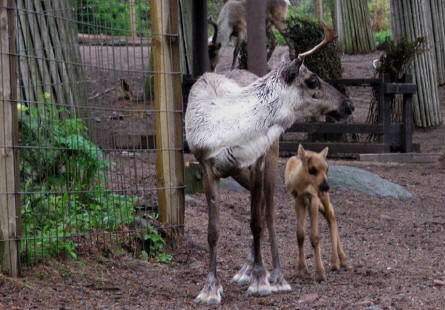 Reindeer female with her small calf at the Helsinki Zoo.