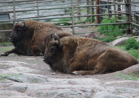 Two of the bison's at the Helsinki Zoo.