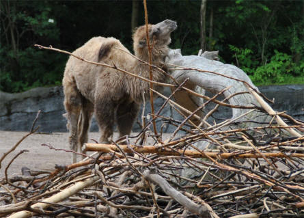 One of the camels at Hagenback Hamburg Zoo.