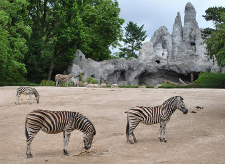 Some of the Zebras at Hagenback Hamburg Zoo.