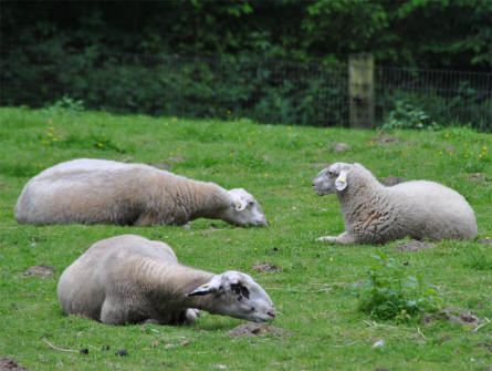 Some of the many sheep's at Wildlife Park Schwartze Berge near Hamburg.