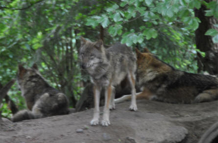 Some of the many wolves at Wildlife Park Schwartze Berge near Hamburg.