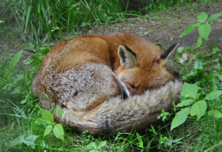 One of the foxes at Wildlife Park Schwartze Berge near Hamburg.