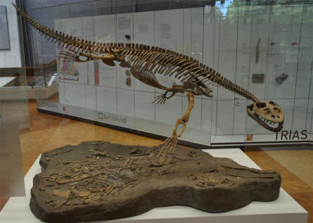 One of the many skeletons of prehistoric animals displayed at the National Museum of Natural History in Stuttgart.