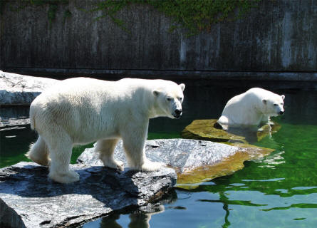 Polar bears at the Wilhelma Zoo & Botanical Garden in Stuttgart.