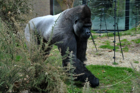 A male gorilla - Artis Zoo - Amsterdam - Holland