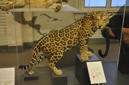 A leopard displayed at the natural history museum at the Artis Royal Zoo in Amsterdam.