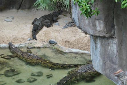 Some of the different types of crocodiles and alligators displayed at the Bioparc - Fuengirole Zoo.