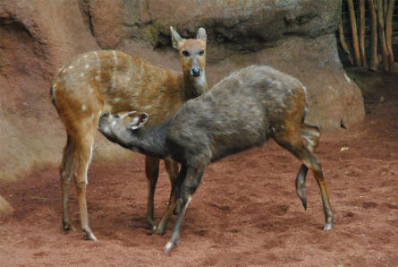 Two of the many deer's displayed at the Bioparc - Fuengirole Zoo.