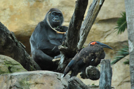 One of the gorillas displayed at the Bioparc - Fuengirole Zoo.