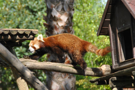 A red panda displayed at the Selwo Adventura Zoo in Estepona.