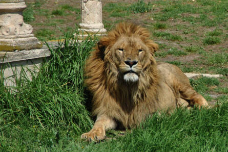 A large male lion displayed at the Selwo Adventura Zoo in Estepona.