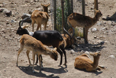 Some of the many different types of deer displayed at the Selwo Adventura Zoo in Estepona.