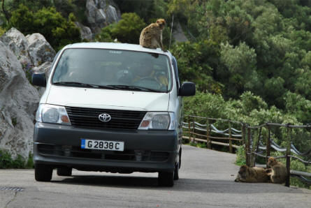 One of the famous Gibraltar monkeys take a ride on one of the many small tour busses that brings tourists to see all of the attractions on the Rock of Gibraltar.