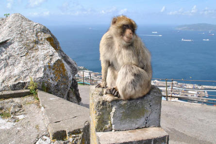 One of the famous Gibraltar monkeys on the Rock of Gibraltar.