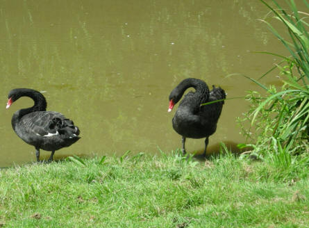 Two black swans at the Bentley Wildfowl & Motor Museum.