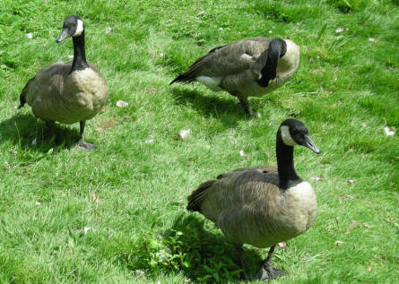 Some geese at the Bentley Wildfowl & Motor Museum.